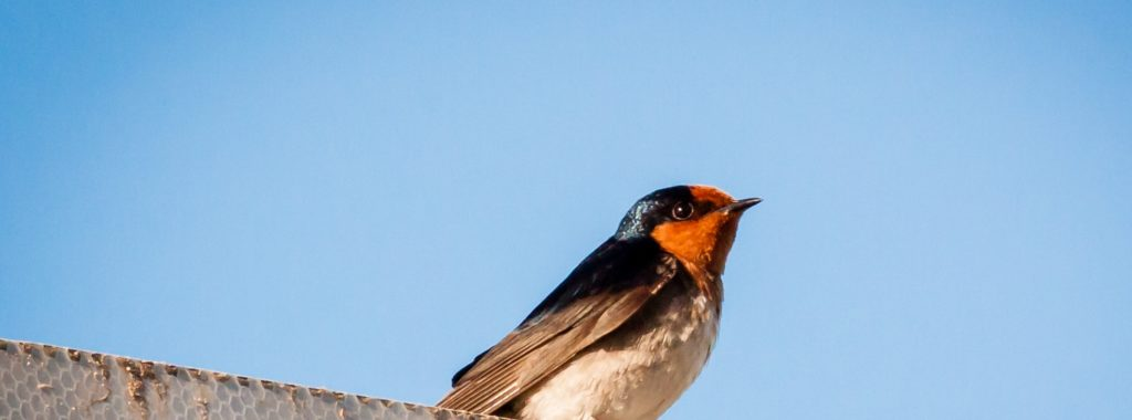 Welcome Swallow, Birds of Australia