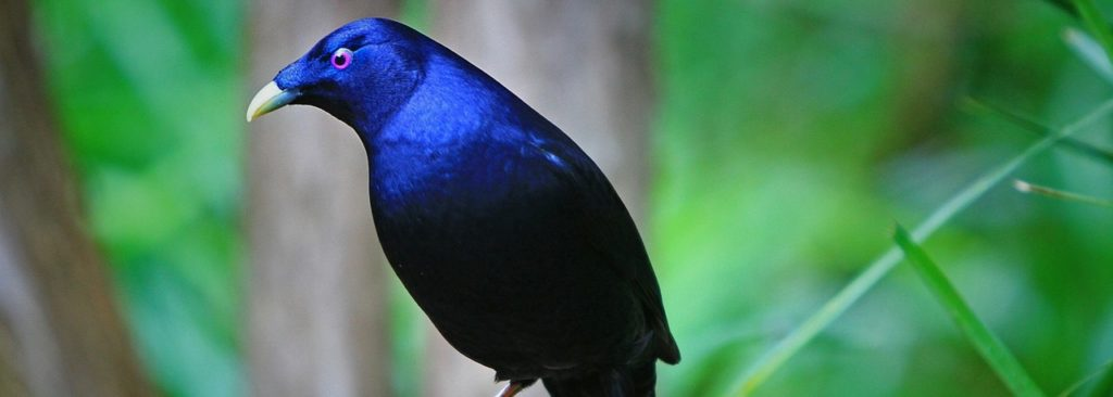 Satin Bower Bird , Birds of Australia